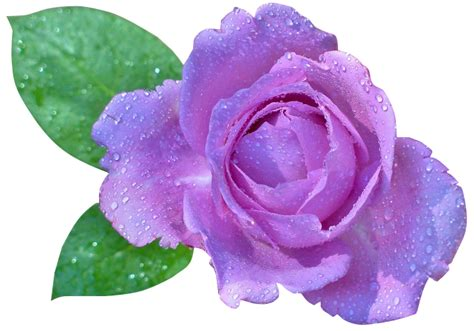 imagenes rosas sin fondo rosas con fondo transparente imagui
