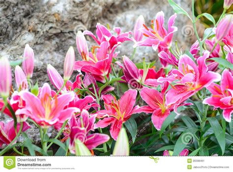 Pink Lily Flowers In The Garden Stock Image Image 35598461 Pink Garden Flowers