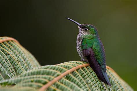 file taphrospilus hypostictus many spotted hummingbird