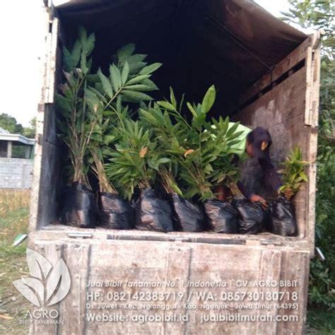 Bibit Bambu Kultur Jaringan pengiriman bibit bambu kultur jaringan ke bondowosoagro