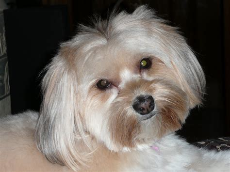 maltese yorkie mix hair 8 facts to know before looking maltese yorkie mix hair 8 facts to know before looking