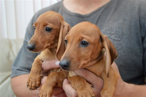 dachshund puppies colorado dachshund puppies for sale spalding lincolnshire pets4homes