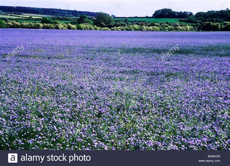 Blue Flower Crop linseed flax agricultural crop crops in field fields crop blue stock photo royalty free