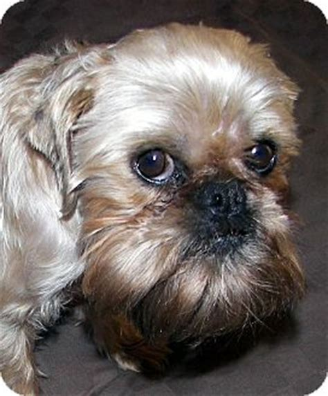 brussels griffon puppies for adoption harley adoption pending adopted burneyville ok brussels griffon