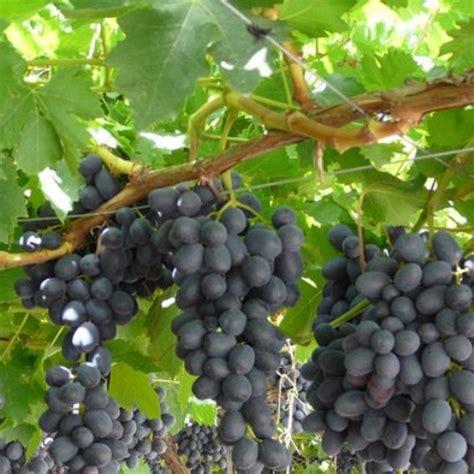 come coltivare l uva da tavola uva da tavola nera black magic vaso 216 19cm vendita