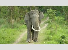 Tusker v makhna: Who will woo the female elephant? Irish Elk