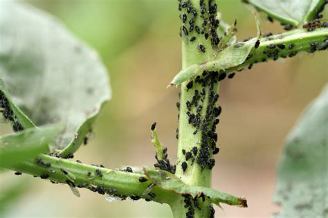 vegetable garden pests identification be a master gardener