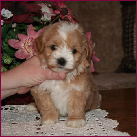 cinnamon maltipoo puppies for sale f1 hybrid maltipoo puppies breeds picture