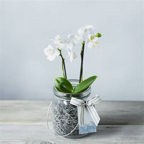 orchidea in vaso cura mini orchidee orchidee coltivare le mini orchidee