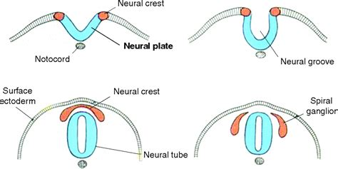 pattern formation of neural tube normal development a basic guide to spina bifida