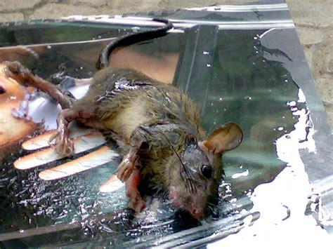 Lem Tikus 100 Ml jual lem tikus cap gajah untuk perangkap trap