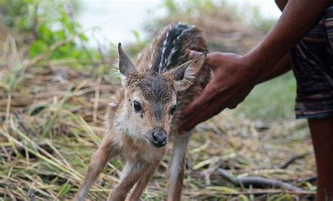 saves fawn boy saves fawn from drowning