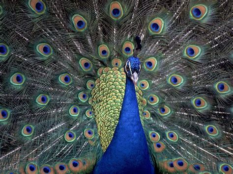 Peacock Blue | a bevy of beautiful blue animals