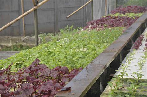 membuat kebun hidroponik kebun 2 jiri farm hidroponik garden