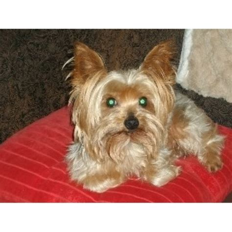 yorkie breeders in ky yorkies by terrier breeder in kentucky listing id 22088