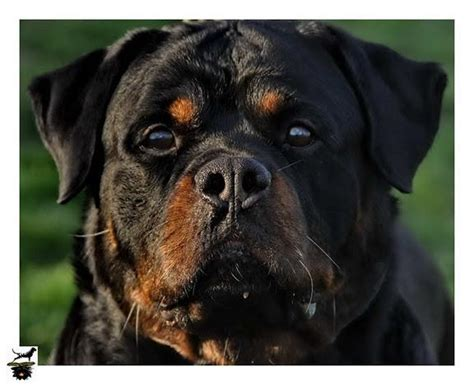 rottweiler puppies for adoption in bangalore rottweiler puppies for sale raghu 1 9583 dogs for sale price of puppies dogspot in