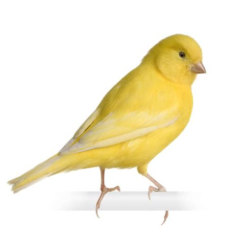 gallery yellow canary