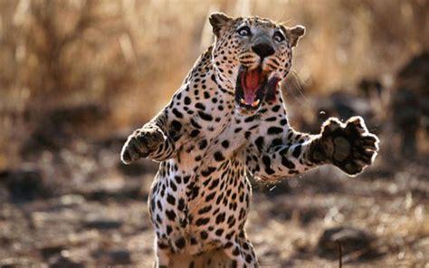 imagenes de garra jaguar leopardo fotos caracter 237 sticas y diferencias con el