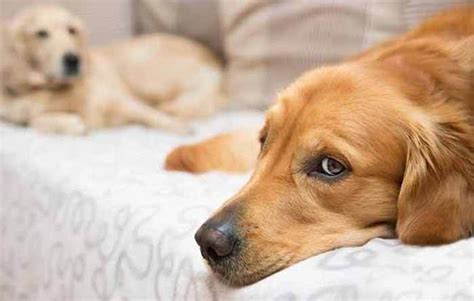 is melatonin safe for dogs is melatonin safe for dogs how much can they eat thepetadvice