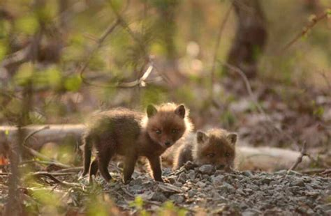 fox in backyard father and daughter find baby foxes in their backyard