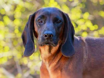 bavarian mountain hound information characteristics