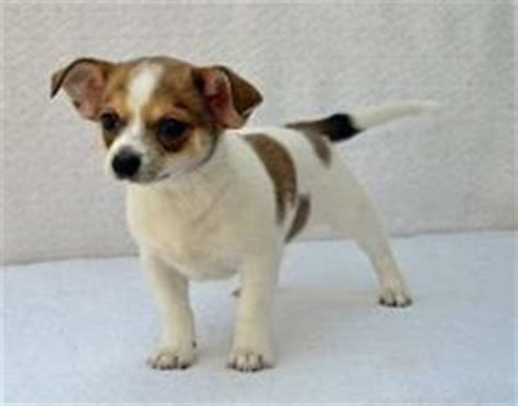 rat terrier shih tzu mix ratshi terrier ratshi terriers rat terrier shih tzu hybrid our dogs