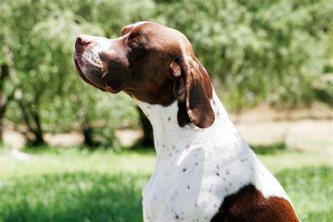 pointer breeds breeds pointer temperament and personality dogalize