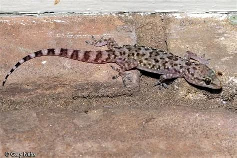 how to get rid of lizard in my room do house lizards bite how do you get rid of them quora