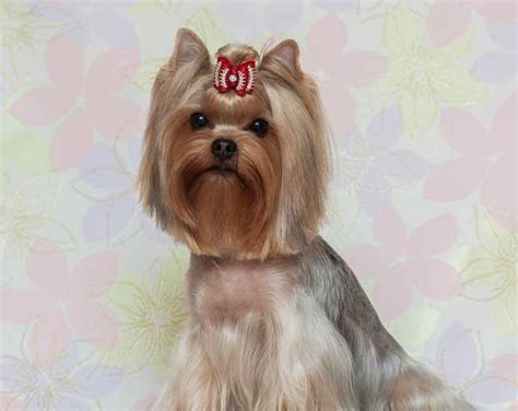 female yorkie haircuts yorkie haircuts 100 yorkshire terrier hairstyles