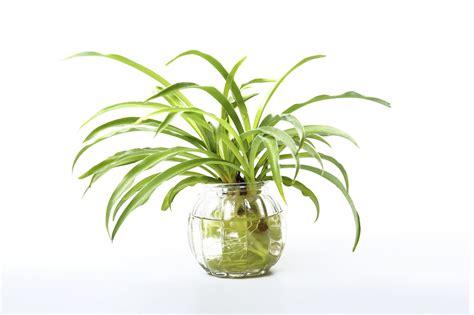 grow l for plants growing a spider plant in water leaving rooted spider