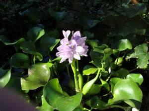 Backyard Composting Floating Pond Plants How To Use Floating Plants For Ponds