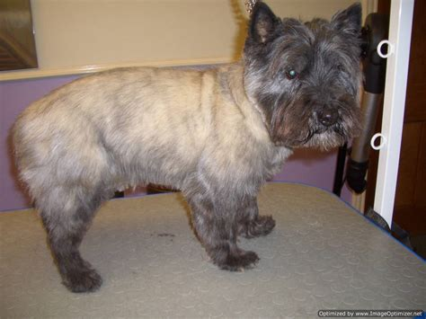 is it ok to cut a cairn terrieris har short then re grow it cairn terrier hair cuts newhairstylesformen2014 com