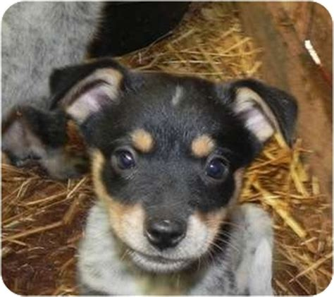 blue heeler yorkie mix pet not found