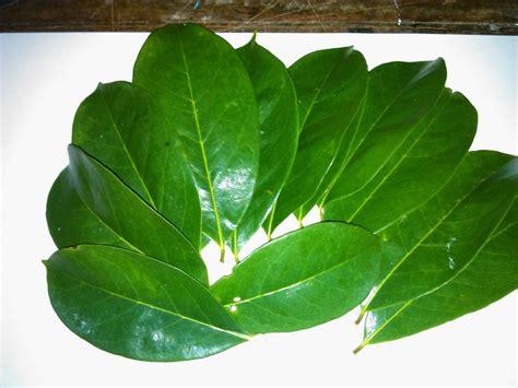 Jual Bibit Jahe Merah Cirebon jual daun sirsak jual bibit tanaman unggul