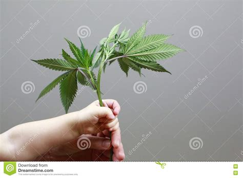 child  adult hands  holding marijuana leafs