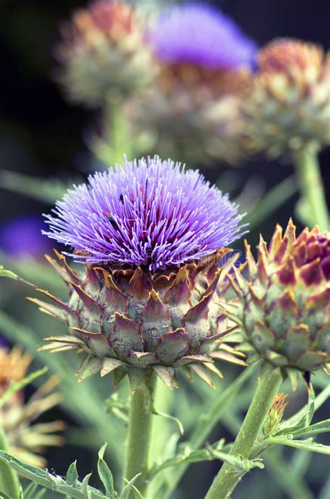 fiore carciofo fiore di un carciofo fotografia stock immagine