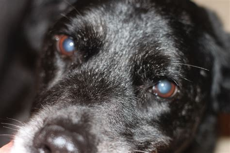 blue film on dogs eyes why are my dog s eye s cloudy nuclear sclerosis vs cataracts