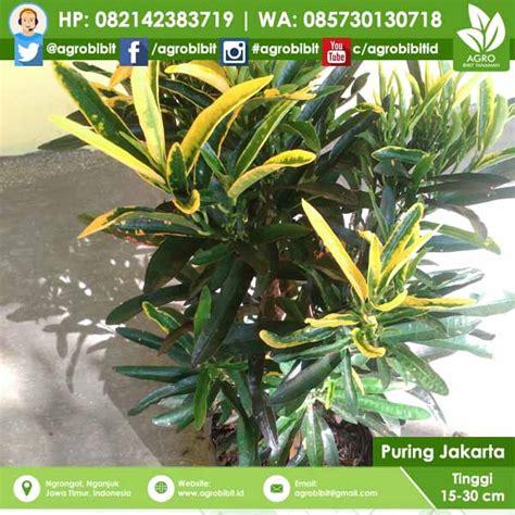 Bibit Bunga Di Indonesia jual bibit bunga puring jakarta