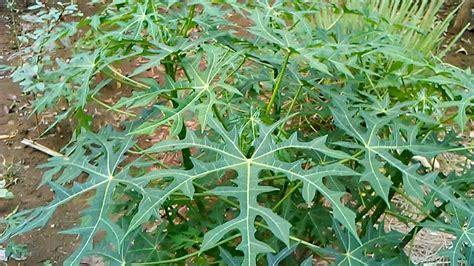 berkebun sayur pepaya jepang youtube