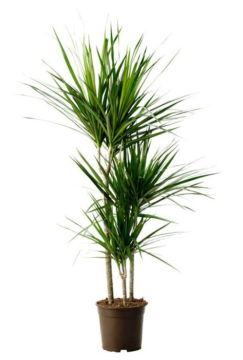 tronchetto pianta appartamento piante da appartamento tronchetti gpsreviewspot