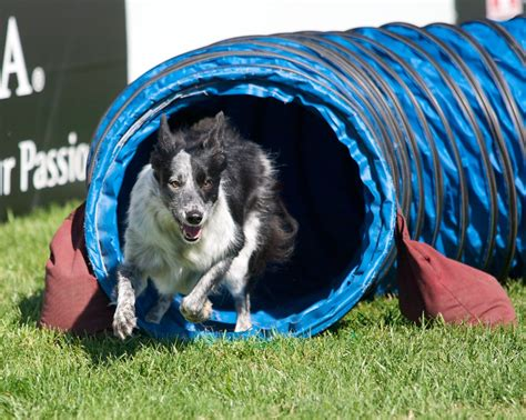 puppy agility agility images razzle charges out of the tunnel hd wallpaper and background photos