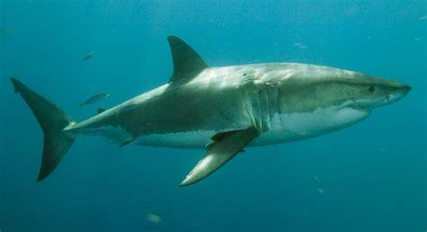 imagenes de lutos blancos estado de conservaci 243 n de los tiburones blancos