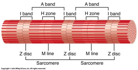 5 proteins of myofilaments 8 muscular tissue at of michigan arbor