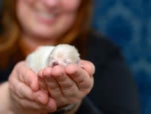 yuma pomeranians white creme pomeranian puppy breeds picture