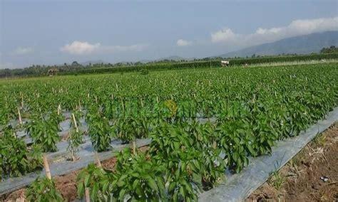 Polybag Tanaman 35 X 35 12 teknik sukses budidaya menanam cabai merah keriting