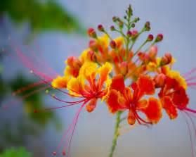 Pictorial dictionary gulmohar tree delonix regia