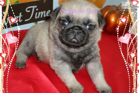 pug puppies nashville tn due in april pug puppy for sale near nashville tennessee 36d7756f 05d1