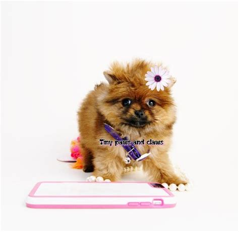 teacup pomeranian puppies for sale in nebraska teddy pomeranian puppies for sale nebraska breeds picture