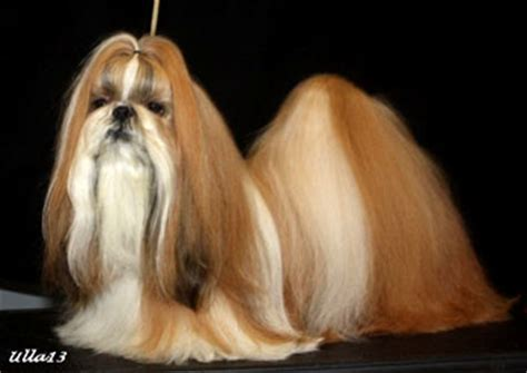 shih tzu hair care shih tzu hair breeds picture