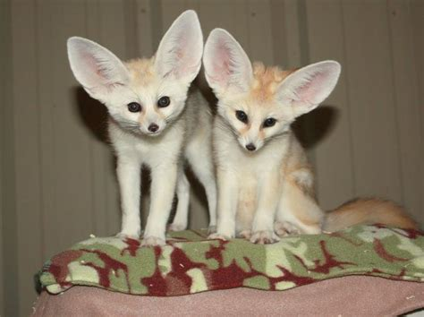 pet fennec fox life is a beautiful ride pinterest